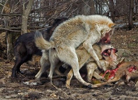 do coyotes eat dogs wolf pack wolves fighting wolfpack awesomeness wolves