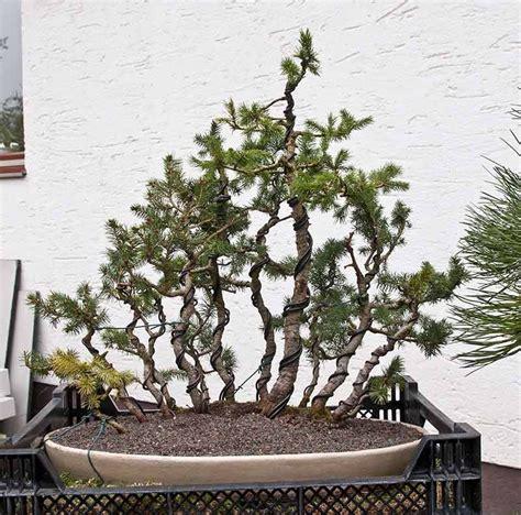 alberelli in vaso pin di stefano bana su bonsai bonsai potted trees e garden