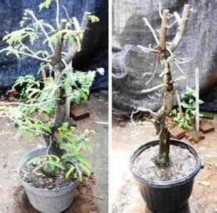 Bakalan Bonsai Asam Jawa merapikan bakalan bonsai asam jawa daun ijo