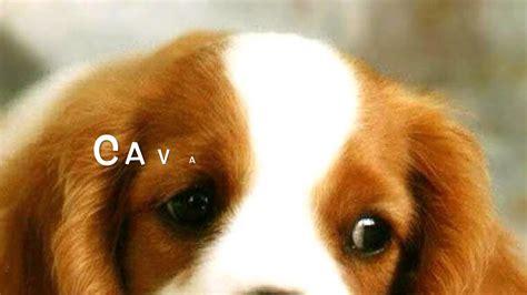 le pi禮 mondo classifica 10 razze di cani migliori mondo