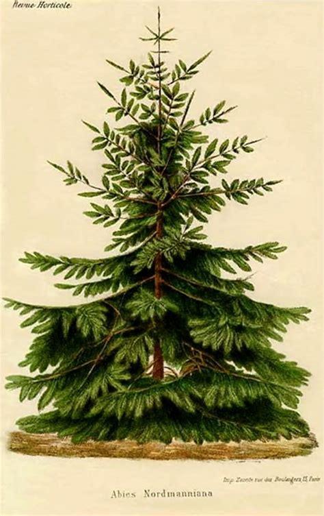 the botanical name of a grrmam christmas tree 86 best audubon prints more images on animal anatomy botany and science illustration