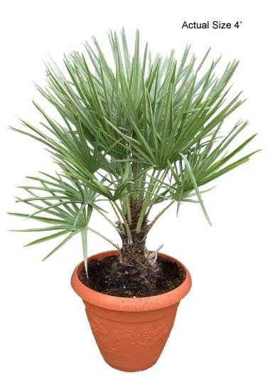 fan palm care european fan palm mediterranean fan palm tree