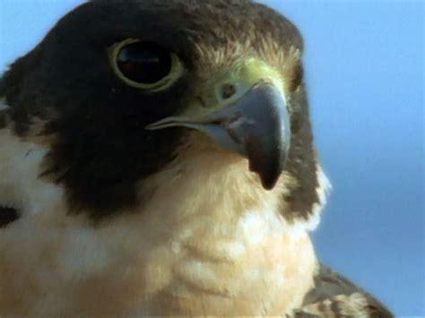 high velocity falcons