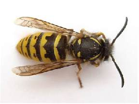 How To Make A Paper Wasp - wasp gallery bees wasps and paper wasp hive