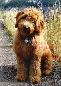 when should puppies start water labradoodle news and photos perez