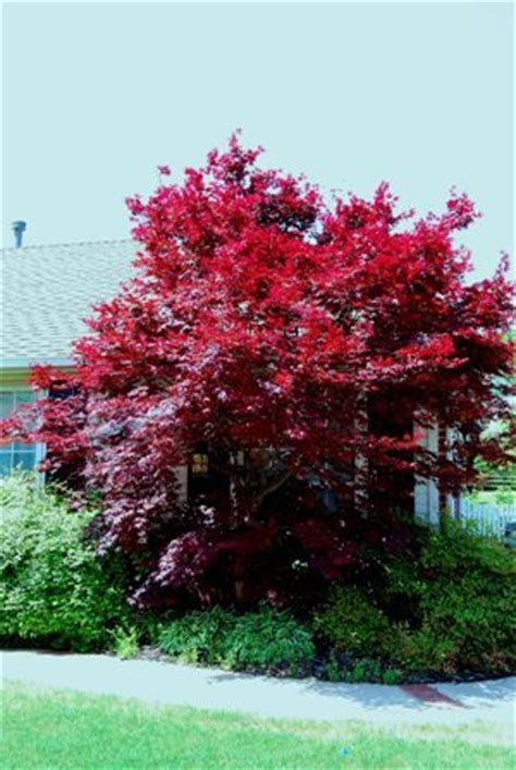 yes you can grow a japanese maple in oklahoma dirt ramblings 174