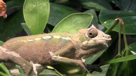 Panther Chameleon Shedding by Chameleon Shedding Hd