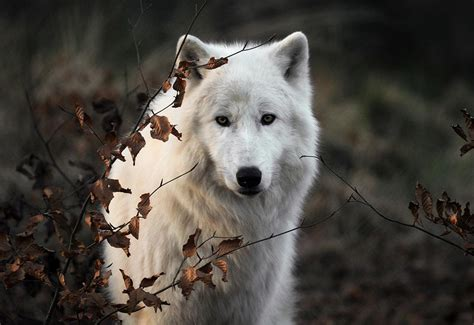 On Wolf wolf photography amazing wallpapers