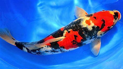 Pakan Ikan Koi Konishi cara mencerahkan warna ikan koi secara alami mudah dan