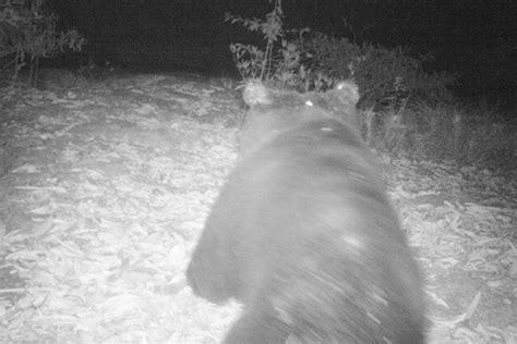 valle camonica sondrio valtellina news notizie da sondrio e provincia 187 orso