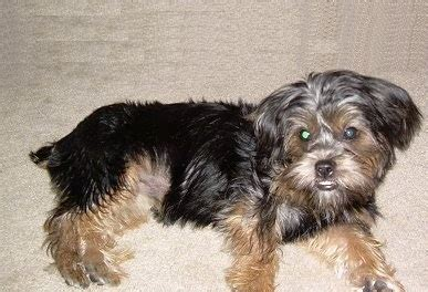 shih tzu and terrier mix silky tzu shih tzu x silky terrier mix info temperament puppies pictures