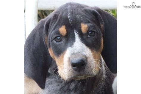 bluetick coonhound puppies for sale annalaise bluetick coonhound puppy for sale near altoona johnstown pennsylvania