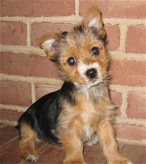 fox mix torkie fox terrier x yorkie mix info temperament puppies pictures