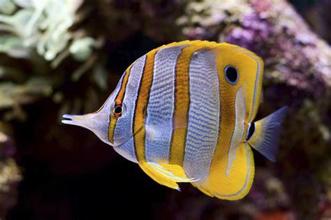 water fish yellow white striped saltwater fish aquarium livestock salt water
