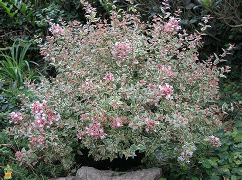 Large Pink Flowering Shrub - mardi gras abelia on sale the planting tree