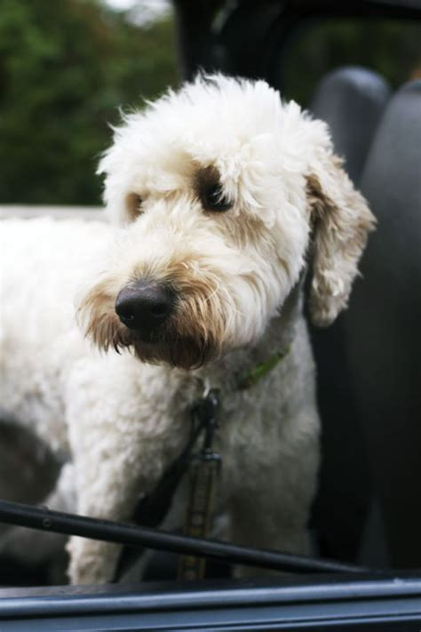 goldendoodle puppy allergies 1000 images about goldendoodle haircuts on