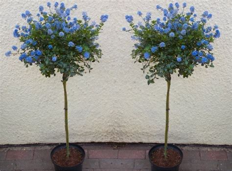 All Year Flowering Shrubs - pair of evergreen california lilac trees patio standard ceanothus