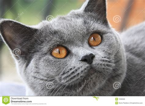 Kaos Kucing Blue Tabby Abstract cat with orange blue shorthair royalty free