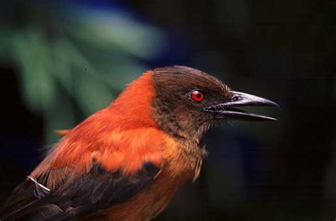 poisonous birds in papua new guinea and a very baffling