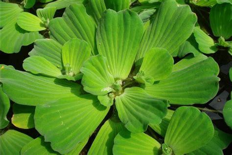 Tanaman Hias Air Apu Apu 5 Pcs manfaat yang terdapat pada tanaman kiapu atau apu apu