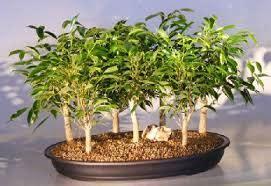 Bibit Bonsai Maple membuat tanaman bonsai dengan setek akar tanaman bunga hias