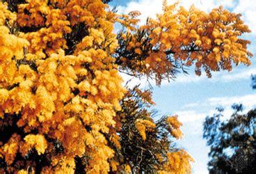 australian christmas tree plant britannica com