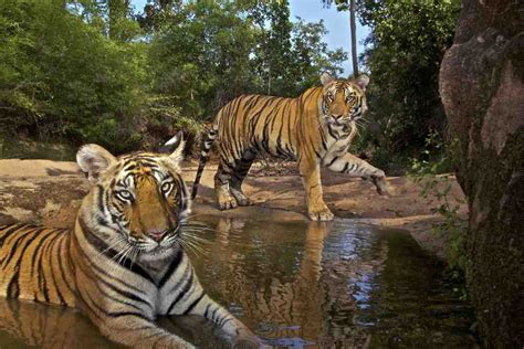 Essay On Tigers In India by Eye Of The Tiger Seethewild Wildlife Conservation Travel