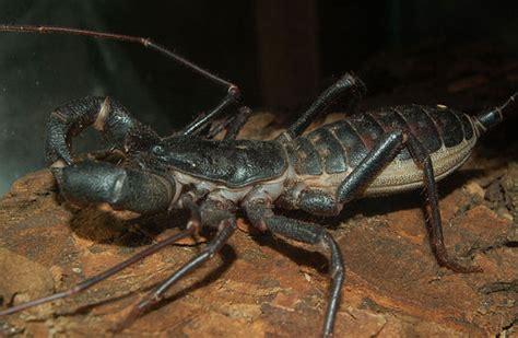 whip scorpion characteristics habitat breeding insects
