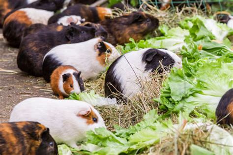 vitamin c vegetables for guinea pigs 10 safe and unsafe foods for your guinea pig