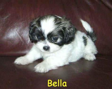 havanese pekingese mix havanese pekingese mix breeds picture