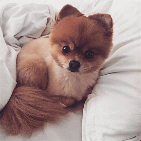 pomeranian hair falling out 705 best images about pomeranian on teacup pomeranian puppy pom poms and