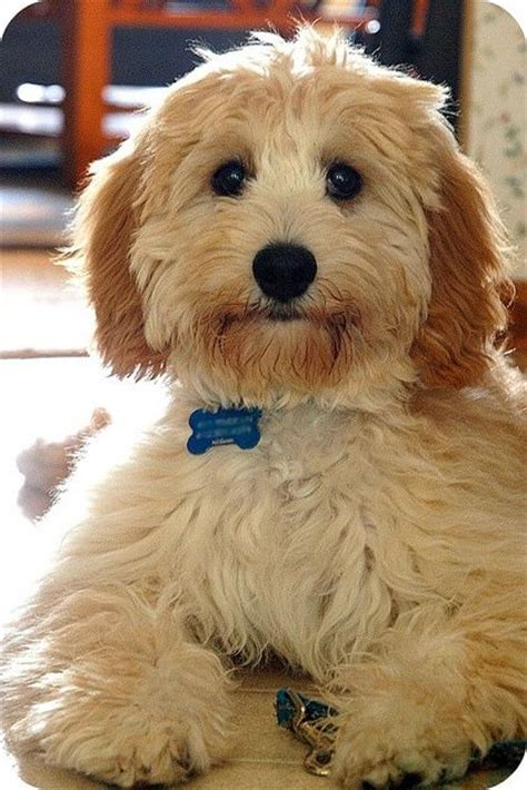 17 best ideas about cockapoo grooming on