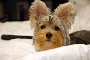 haircuts for yorkie dogs females yorkie pictures of haircuts image search results dog