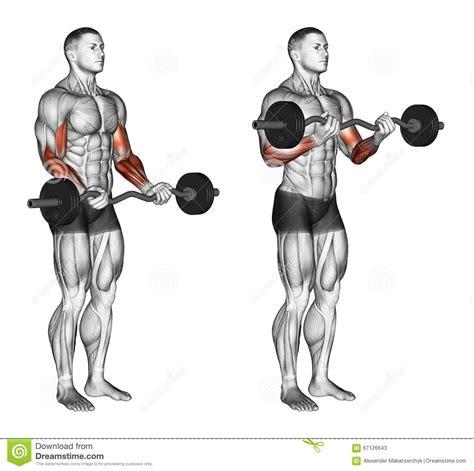 ez curl bar bench press exercising ez bar curls stock illustration image 67126643