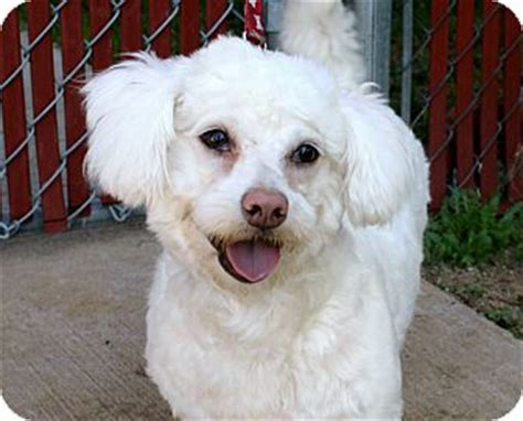 Maltese Do They Shed by Yvonne I Do Not Shed Adopted Los Angeles Ca