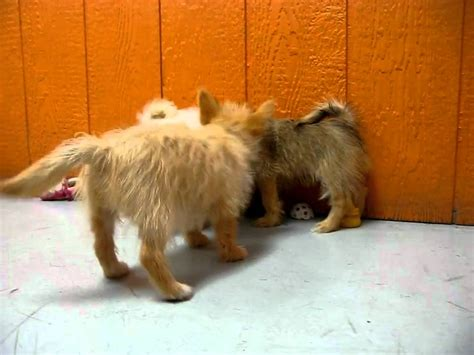 yorkie giving birth signs yorkie pom puppies 19breeders