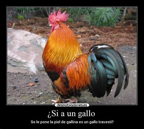 imagenes gratis de gallos con frases im 225 genes y carteles de gallos desmotivaciones