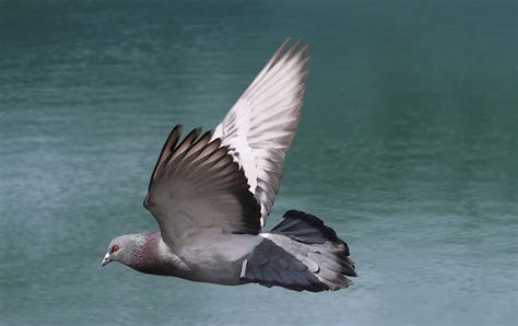 t i n a pigeon flying by t i n i c a on deviantart
