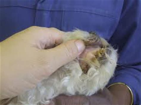 lungworm in dogs lungworm in dogs heartworm your own vet