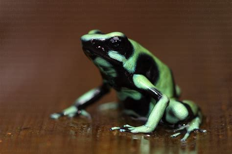 green wallpaper poison green and black poison dart frog 34 background