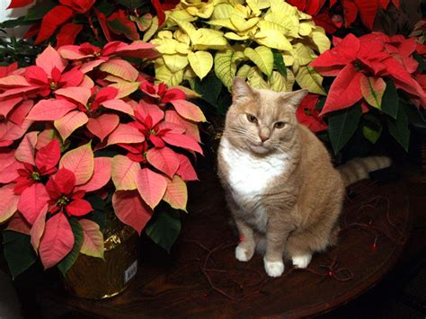 poinsettia and dogs are poinsettias toxic to dogs and cats hubpages auto design tech