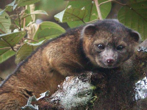 animals discovery cutest new animal discovered it s an olinguito nbc news