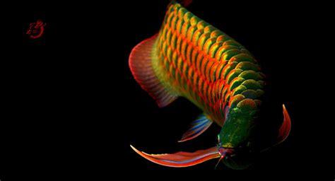 美丽动人的金龙鱼高清图片 观赏鱼图片 鸟百科