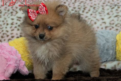 free puppies in west palm pomeranian puppy for sale near west palm florida 7768c26a 67f1