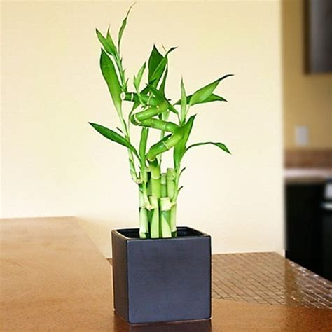 lucky bamboo arrangement lucky  spiral  easternleafcom