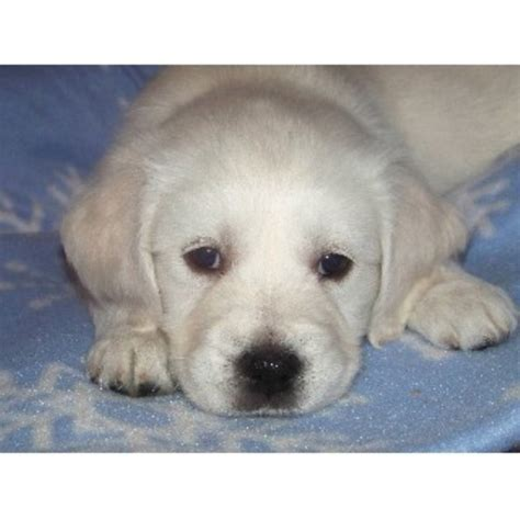golden retriever puppies for sale nh ciarfella s labs goldens golden retriever breeder in center ossipee new hshire