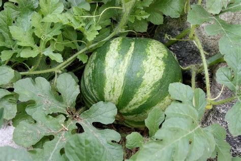 grow le how to grow watermelons dreamley