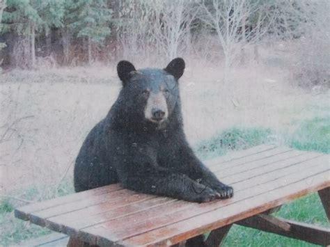 Bear At Picnic Table Meme - bear picnic table