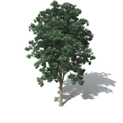 tree image xfrog trees jarrah