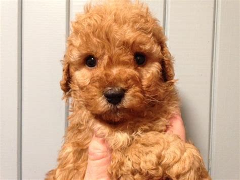 sproodle puppies sproodle puppies for sale various colours oswestry shropshire pets4homes